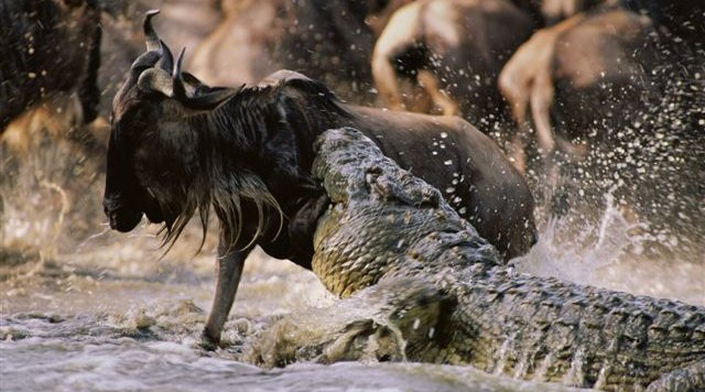 cocodrilos cazando