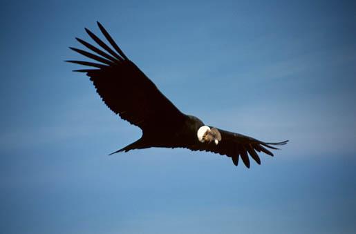 Pelea de condor y águila