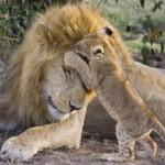 Primeros días de una familia de leones salvajes