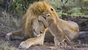 familia leones salvajes cachorro leon