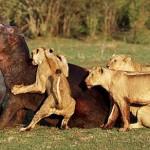 Una hipopótamo huye de una manada de leonas