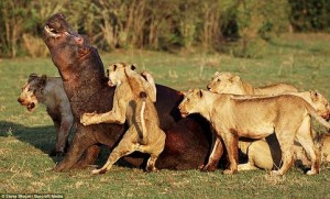 hipopotamo leones