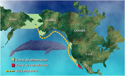 migracion ballena gris