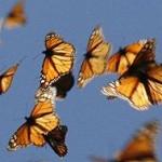 Viajes Asombrosos – Mariposa Monarca