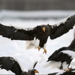 Lucha entre Pigargo gigante y Aguila Real