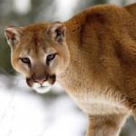 Vídeo casero de un Puma chileno