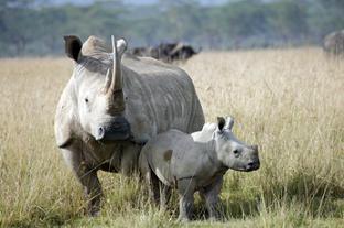 León salva a un Bebe Rinoceronte de las Hienas