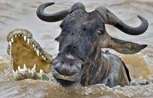 documental cocodrilos cazando ñu