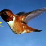 Genial video de Colibris en camara lenta (II)