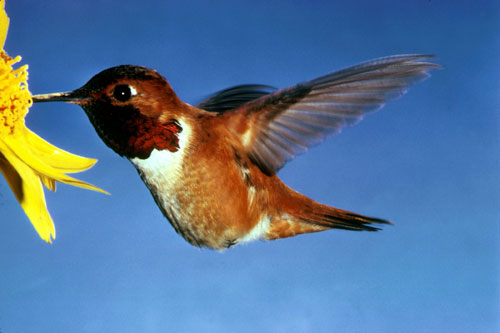 colibri volando