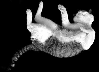 gato cae de pie volando