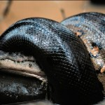 Una anaconda se come un cocodrilo
