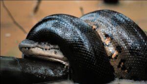 anaconda comiendose un cocodrilo