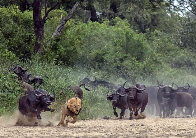 Un bufalo persigue a un leon y viceversa