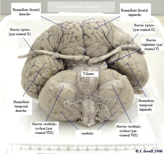 cerebro de los delfines