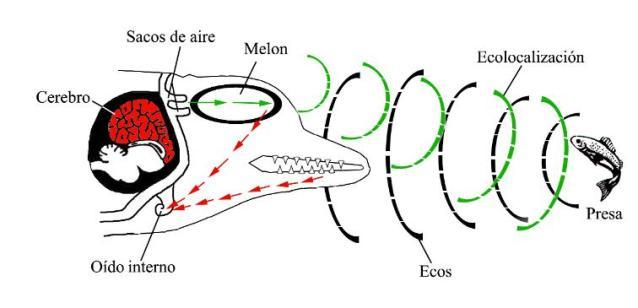 delfines ecolocalizacion