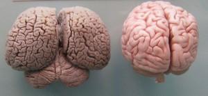 cerebro de los delfines y de los humanos