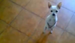 Perro bailando flamenco