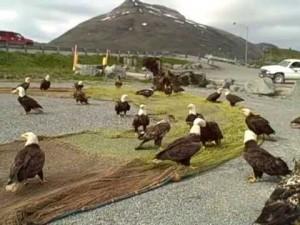 aguilas comiendo alaska