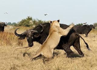 Manada de búfalos defienden a su compañero de ataque de león