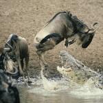 Cocodrilo caza un antílope acuático