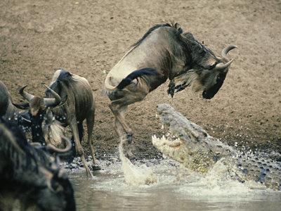 cocodrilo cazando antilope