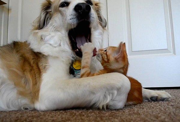 gato roba lengua perro
