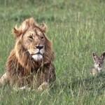Un chacal le vacila a un león