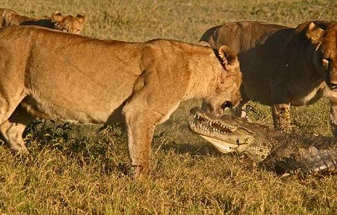 Cocodrilo y león enfrentados en la ribera