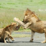 Leonas se enfrentan a un león protegiendo a sus crías