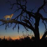 Leopardo cazando un impala desde un árbol