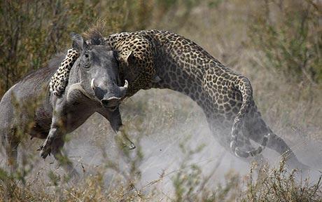 Leopardo cazando un jabalí. Impresionante lucha