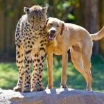 Perro y guepardo jugando