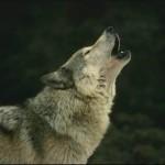 El Hombre y la Tierra: El Hombre y el Lobo