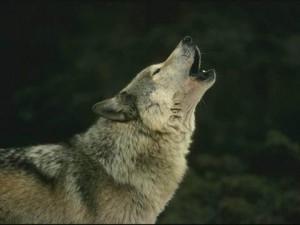 El Hombre y la Tierra el hombre y el lobo