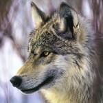 El Hombre y la Tierra: El Lobo