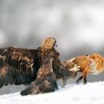 Aguila ataca a un zorro