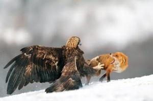 aguila ataca zorro