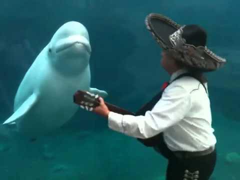 Serenata de mariachis a una ballena beluga