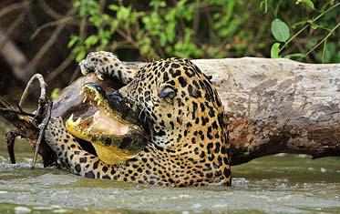 Un jaguar cazando un caimán