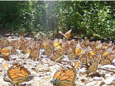 Santurario de la mariposa monarca en Michoacán