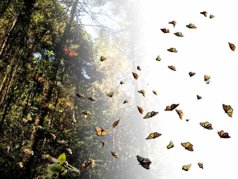 Migración de la mariposa monarca