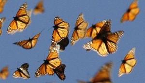 migracion de la mariposa monarca