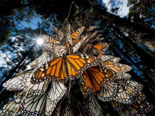 migracion de la mariposa monarca google earth