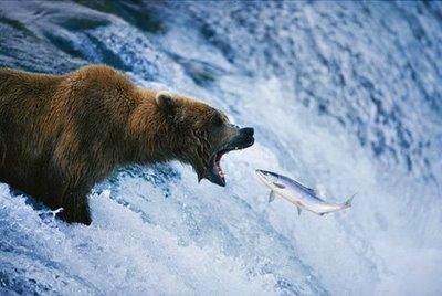 Oso cazando salmones en Alaska