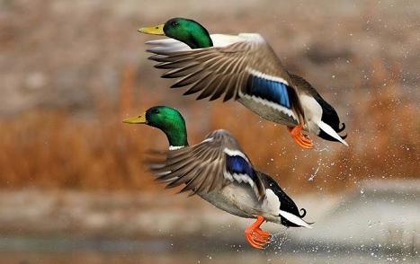patos documentales animales la tierra desde el cielo
