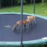 Zorros saltando en un trampolín