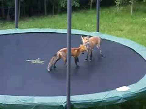 zorros saltando cama elastica