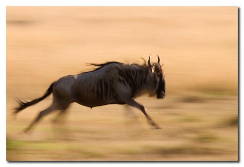 ñu negro corriendo
