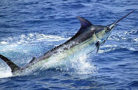 los 10 animales marinos mas rapidos: Marlin